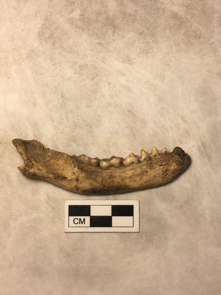 Raccoon jawbone on table, teeth are short but pointed